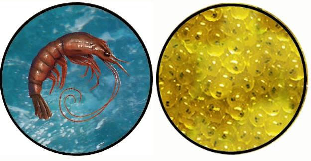 Shrimp and Egg Tokens