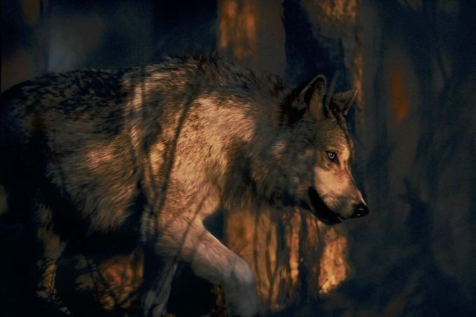 """Spirits of the Forest"" - Photo by Jim Brandenburg"