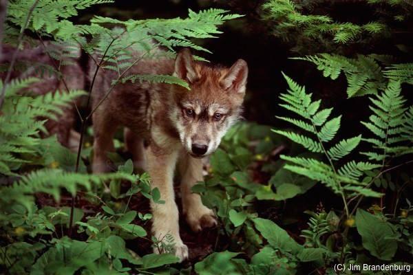 Wolf Pup Ravenwood - Photo by Jim Brandenburg
