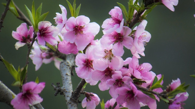 Apricot blossoms in Binsar Valley