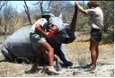 The Dehorning of a White Rhinoceros (Ceratotherium Simum) in Hwange National Park during the early 1990's, Photo by M. Kock