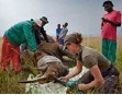 Veterinarians dehorn a tranquilized Rhino for its own protection from poachers