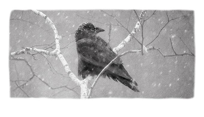 """Raven (""""Wolf-bird"""") - Photo by Jim Brandenburg"""