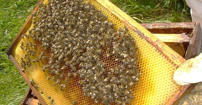 Inspection - Time for the bees to have their health check.