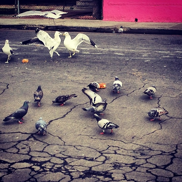 Pigeons, Doves and Gulls - Quetzanimales