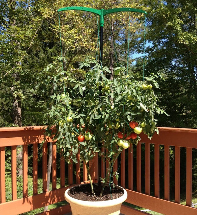 5 Foot Miracle Stake supporting tomato plant