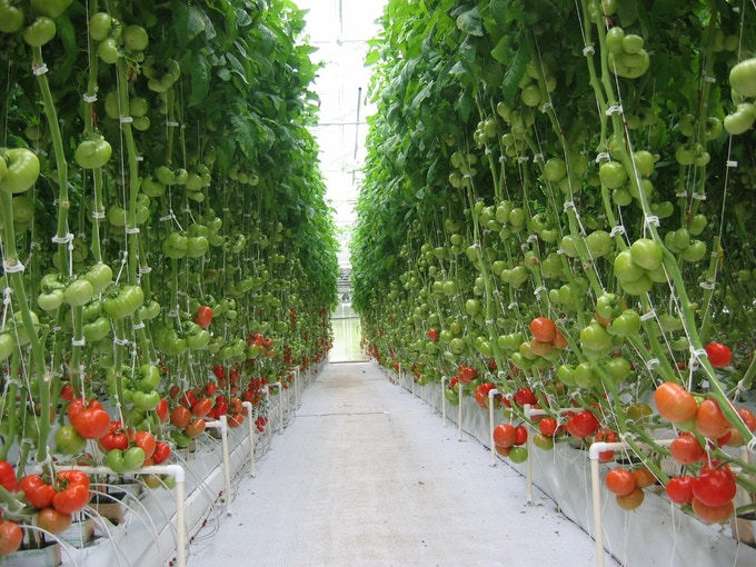 14 foot tall Greenhouse Tomatoes