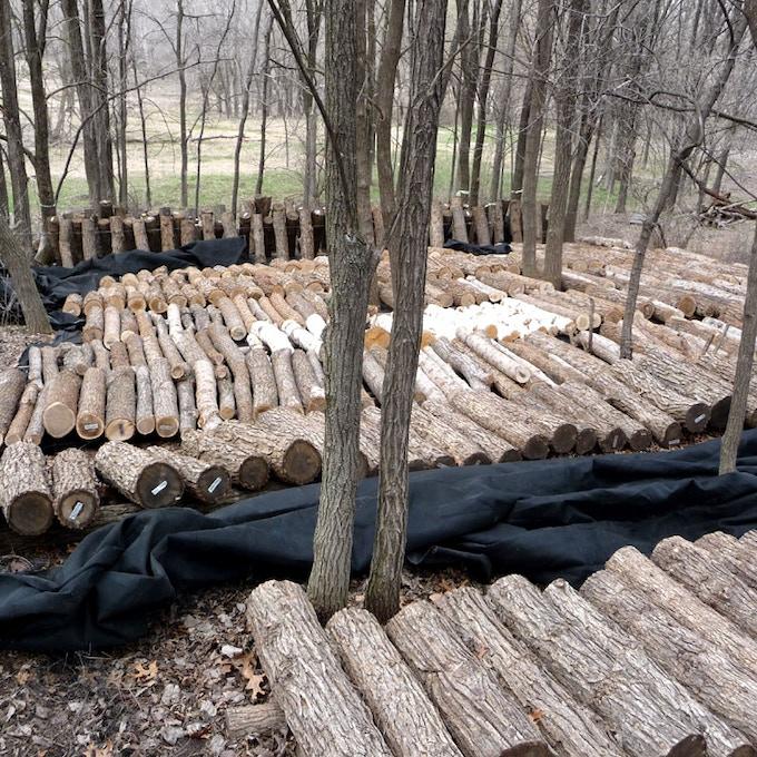 incubating (new) mushroom logs