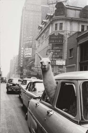 ($1500 reward) An 11x14inch, estate stamped, silver gelatin print of Inge Morath's famous photograph 'A Llama in Times Square, New York, 1957' ($2000 value).