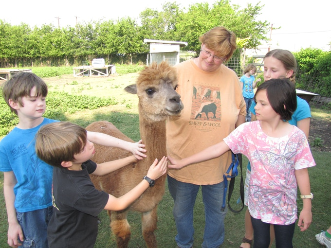 Farm Camp kids learn about alpacas, hands-on.