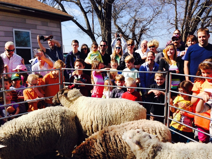 Families gather to watch the spring sheep shearing.