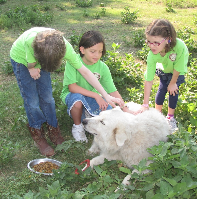 Ruthie, one of our four livestock guardian dogs, welcomes the Farm Campers.
