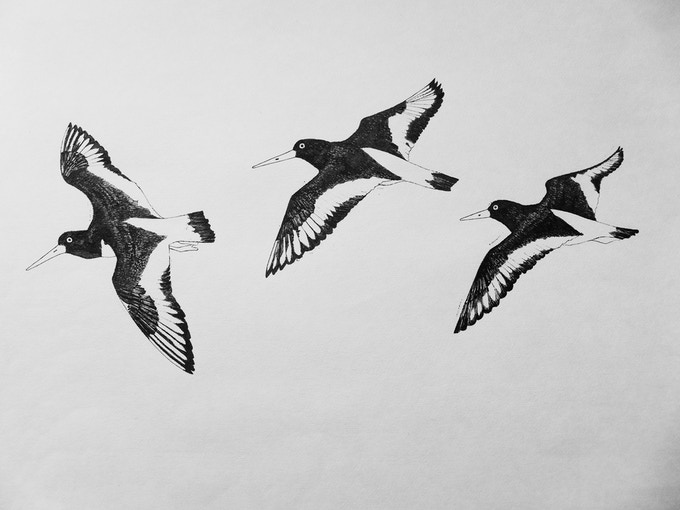 Oystercatcher pencil and ink drawing by Hanna Tuulikki