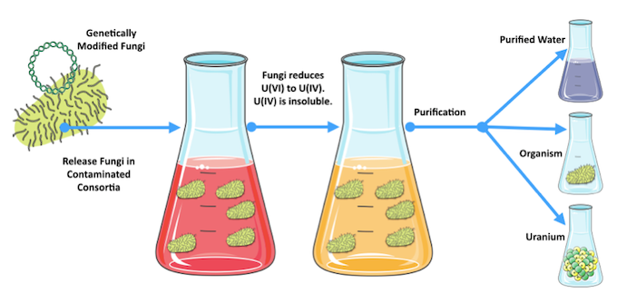 Depiction of Uranium reduction process. Uranium(VI) is soluble and thus difficult to remove from water. Uranium (IV) is insoluble and thus easier to remove from water.