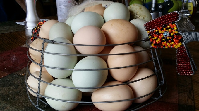 Multibreed layers, thus the different colors of egg shells, the yolk color is determined by the diet so each is different depending on that hen's food preference!
