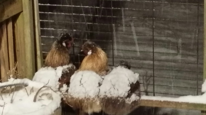 "These Muppet-like blobs are ""Slikie"" chickens - they're small and have black skin. I hear they taste amazing, but due to their excessive cuteness I wouldn't know. We found these 3 roosting in the snow and returned them to the coop for their safety."
