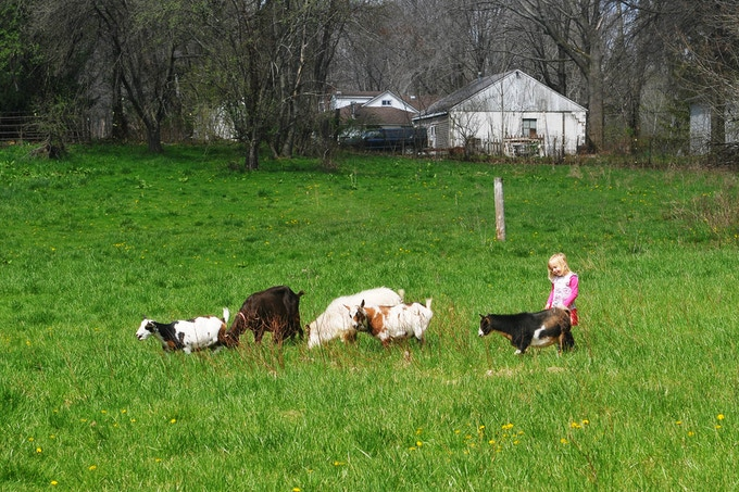 Up on the hill is the lonely goat-girl... From left to right we have Sunshine, Millie, S'bok (a buck on loan from Bigler Knob NDG), our littlest doe, Half Pint, and Lexie, a friend to all animals and major fan of Squibwych Farm!