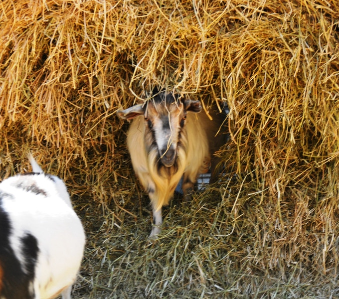 S'bok, the leased buck from Bigler Knob, comes out of his hay bale hidey-hole to ham it up in some photos!