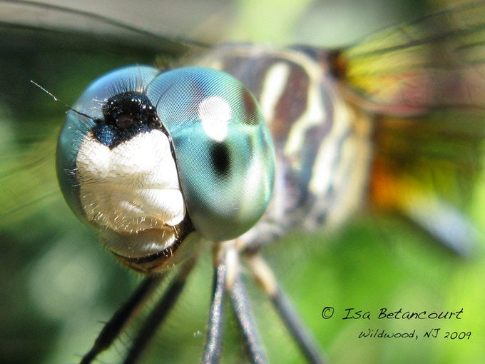 This photo of a dragonfly's eye will be the image on the 3.5x2inch Photo Magnet. (For backers that receive two magnets, the second magnet will feature a photo taken after the Bugshot workshop.)