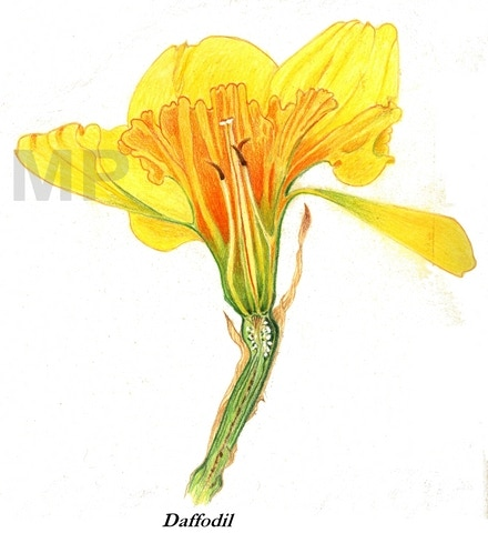 See the early spring dance that the Daffodil does to the newly arrived warm sun