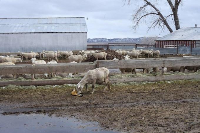 Ewe tending her newly born lamb