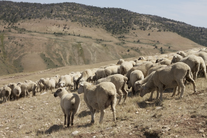 Meike sheep herd in the Big Horn Mountains