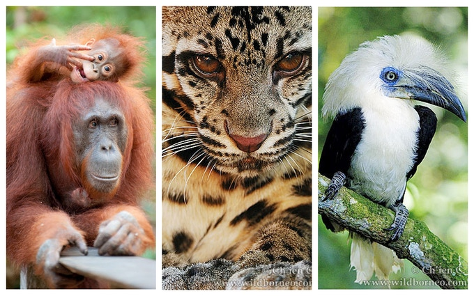 Orangutans, Clouded Leopard, Hornbill (Photos by Andrew Walmsley and Ch'ien C. Lee)