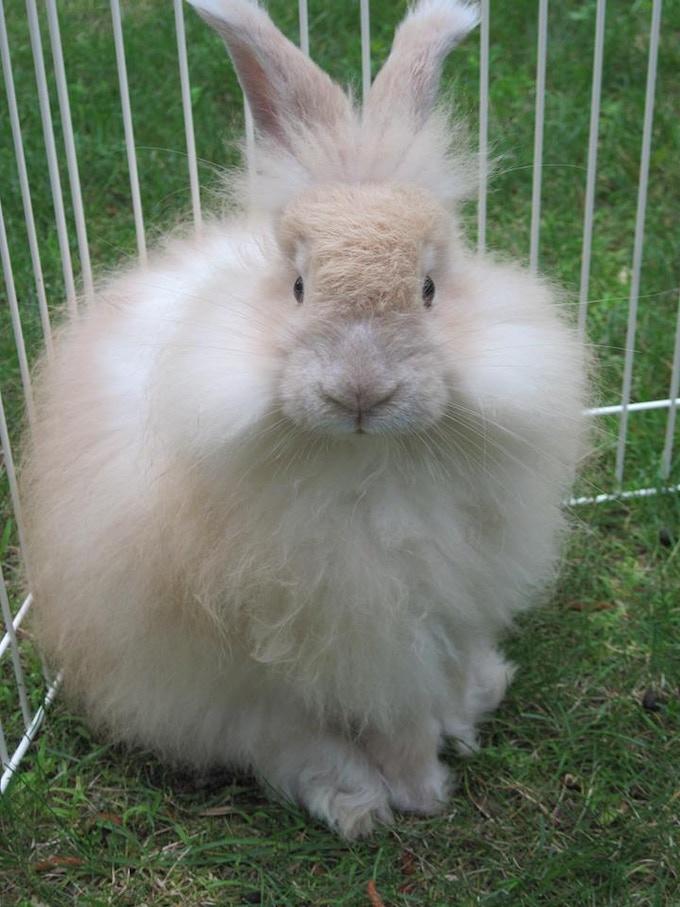 Sampson is our angora rabbit.