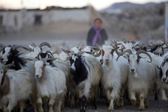 Woman with her herd. Ladakh, India.
