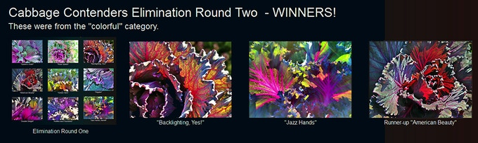 Cabbage Contenders: Elimination Round Two Winners
