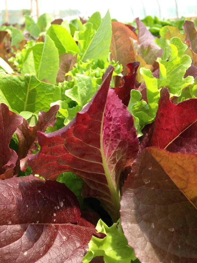Farm Of Peace Lettuce Grow By Halima Jen Willett