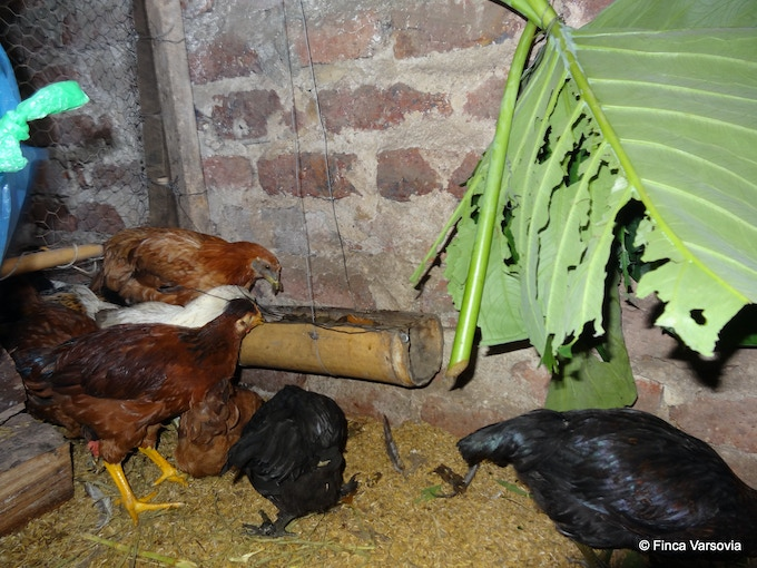 Chickens receiving a tasty snack of fresh greenery on a rainy day.