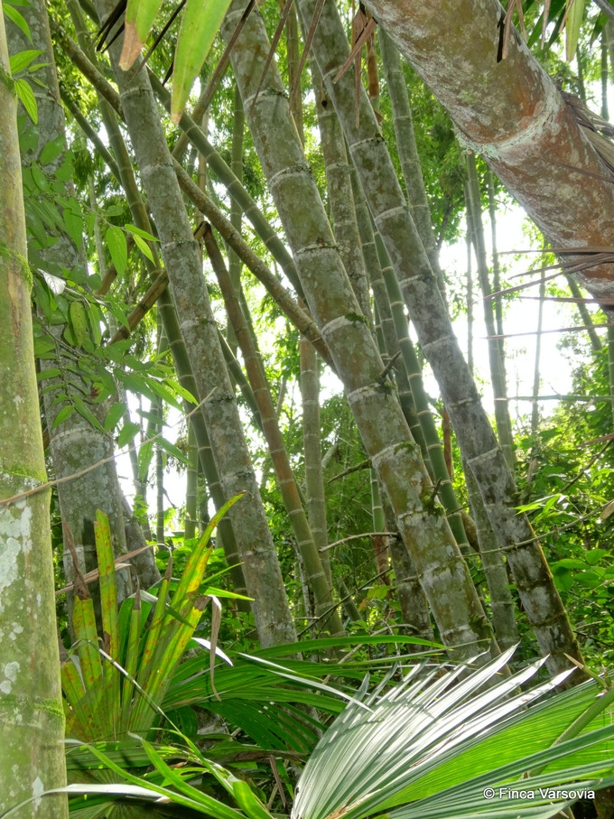 Our bamboo plantation, some of which will be used for the build and replenished through assisted recovery.