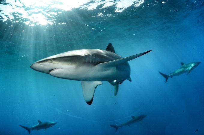 Silky Sharks, Cuba - August 2012