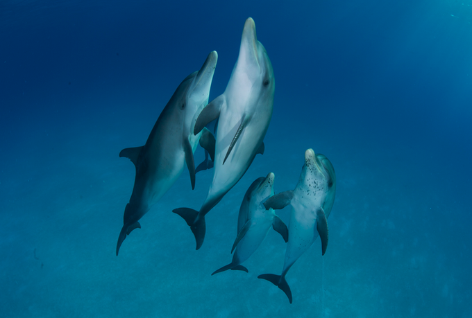Spotted Dolphins, Bahamas - August 2014