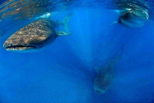 Whale Sharks, Mexico - August 2013