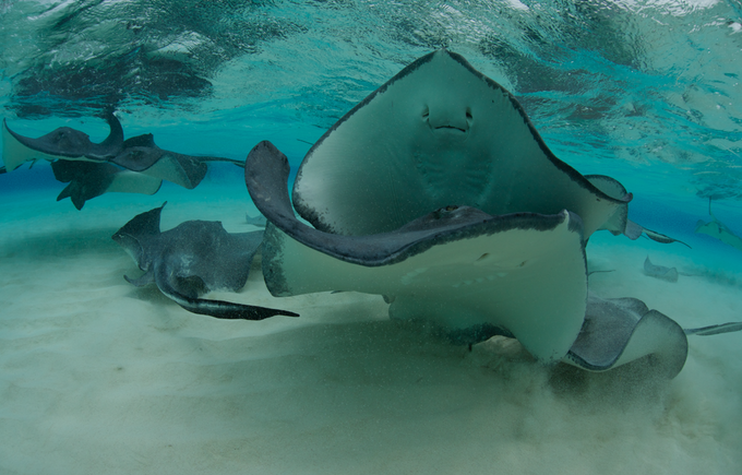 Sting Rays, Cayman Islands - June 2013