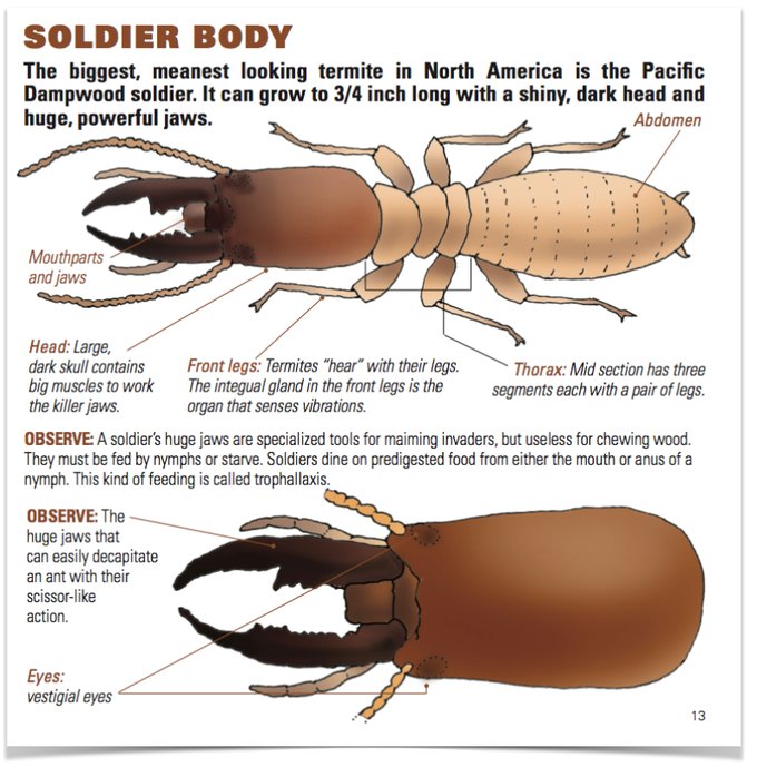 The Accompanying Book Describes Each Termite Colony Member in Detail