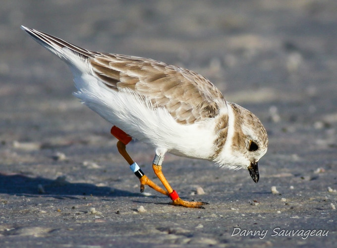 Great Lakes Piping Plover Feeding