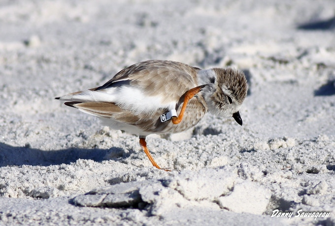 Piping Plover Banded in Canada