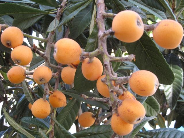 hydroponic fruit trees