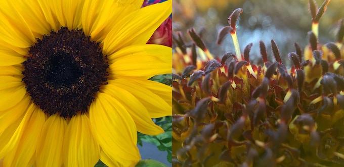 Sunflower 4x