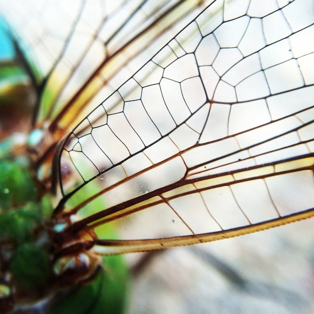 Dragonfly Wing 4x Instagram Credit: @jedidiahpeters