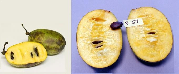 Comparison of wild (left) vs Peterson variety (right)