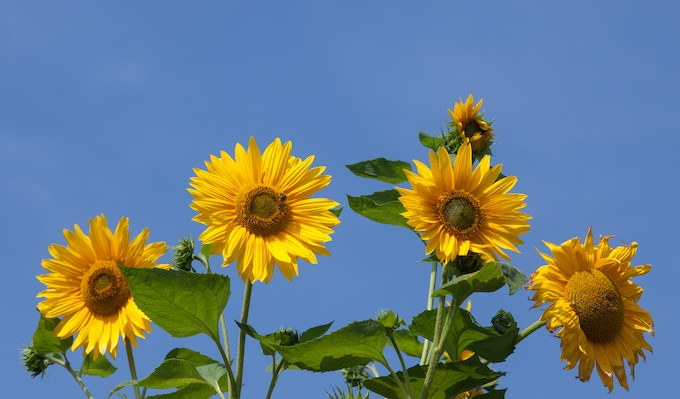 Sunflowers and One Bee  (find it!) - Monet's Garden, Giverney France