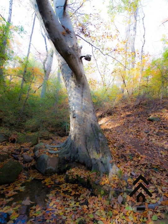 Our huge beech tree over the creek