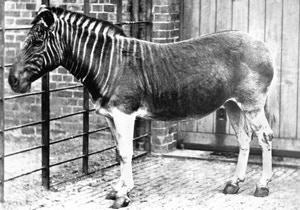 Live Quagga at London Zoo, 1870