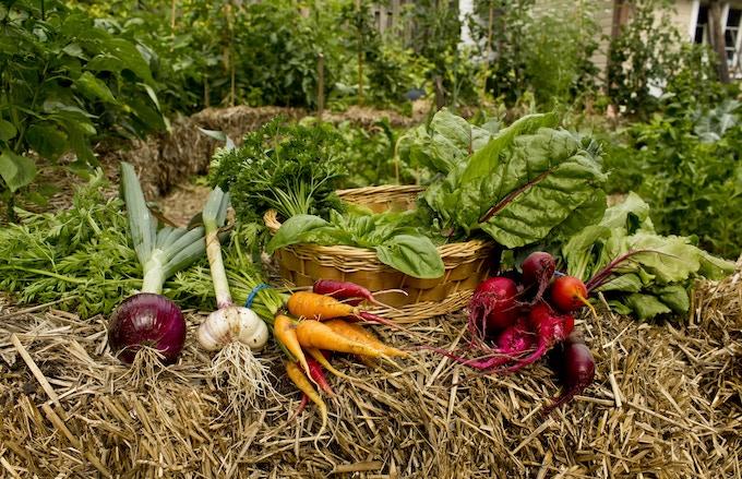 Veggies grown in Britannia Village