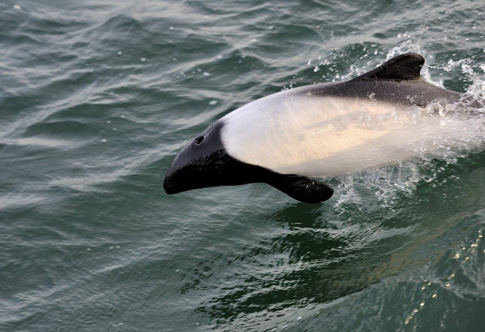Commerson's dolphin in the waters of the Falklands