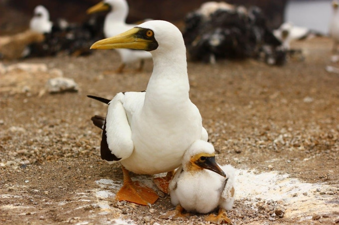 Masked Booby on Ascension Island